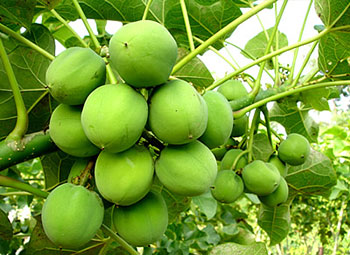 Jatropha Contract Farming India