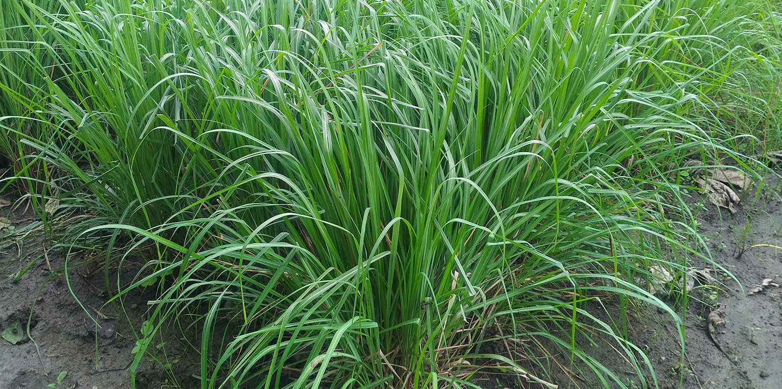 Aromatic Grass Cultivation